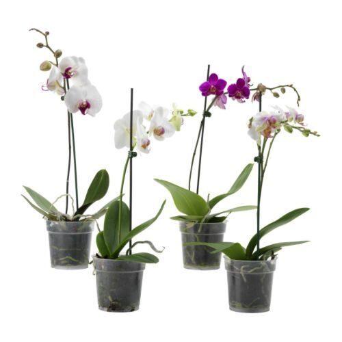 Доставка орхидей в горшках