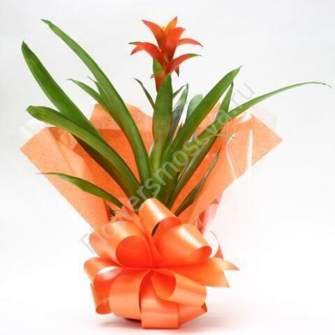 В подарок комнатные цветы