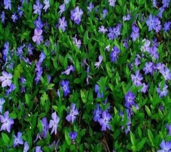 Nature___Flowers_In_the_garden_of_beautiful_flowers_periwinkle_066680_29